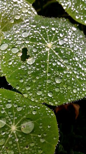Check This Out EyeEm Best Shots Showcase March Green Rain Raindrops Rainy Day Rain Drops Rain Drop Rain Droplets Wet Leaves Green Color Green Leaves Green Leaf Green Plant Wet Plants After The Rain Wet Rainy Focus On Foreground Selective Focus Focused Tranquility Tranquil Scene RainDrop