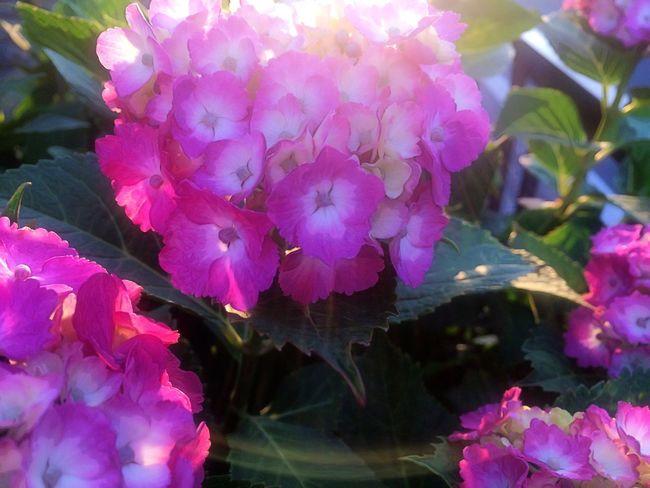 アジサイ。 紫陽花 Hydrangea Hello World Flower Nature Color Pink EyeEm Gallery Iphonegallery Japan Japanese  Enjoying Life Peace Hope