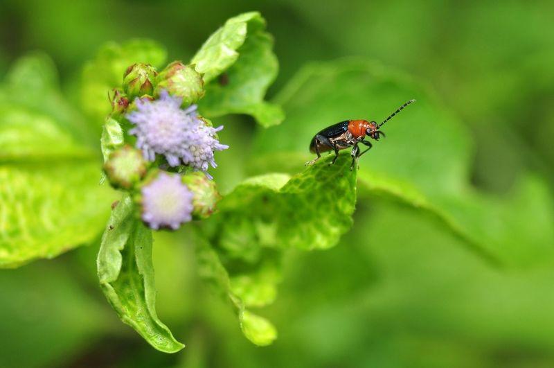 Aulacophora nigripennis Animal Insect Anthropoda Aulacophora Coleoptera Insecta Nature Macro Photography Leaf Beetle