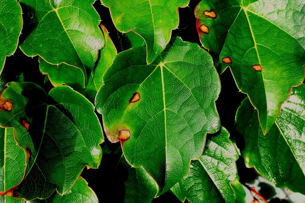 Shiney leaves. Vinegasm On A Break Urban Filter 4 Artphotography Green Leaves Observing Just Shiney Autum Has Begun Leaves&Vines Nature Photography