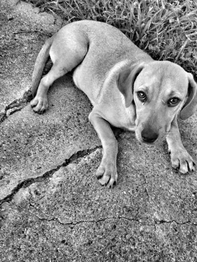 One Animal High Angle View Animal Themes Day Outdoors Sand Mammal No People Dog Pets Portrait Domestic Animals Nature Close-up Homeless Dogs Abandoned Pet Streetphotography Robstown Texas Dog Portrait Sweet Puppy Redtickcoonhound