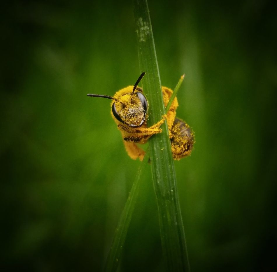 Hold On Tight Insect Animal Wildlife Nature Green Color No People Close-up Day Outdoors Grass Blade Of Grass Macro Photography Macro EyeEm Best Shots Bee 🐝 Save The Bees Pollination Bee Yellow Looking At Camera Up Close Nature The Great Outdoors - 2017 EyeEm Awards Live For The Story 100 Days Of Summer