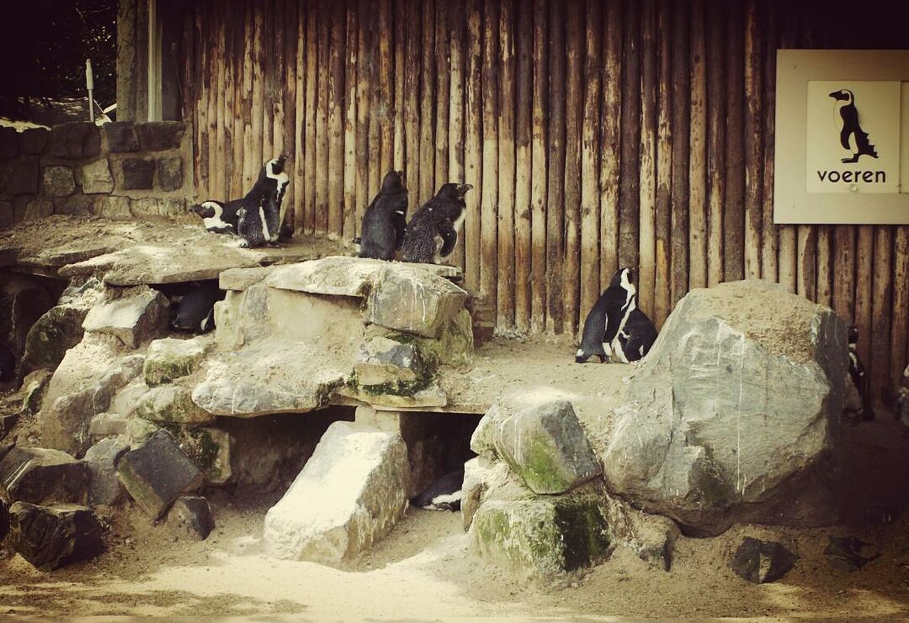 I guess, these penguins are looking to their poster on the wall. Natgeo Animal Birds Penguins Birdlife Afternoon Photoshoot @getty Images Getty&eyeem Getty ımages Eyeemphoto Photographic Memory Travelling Photography