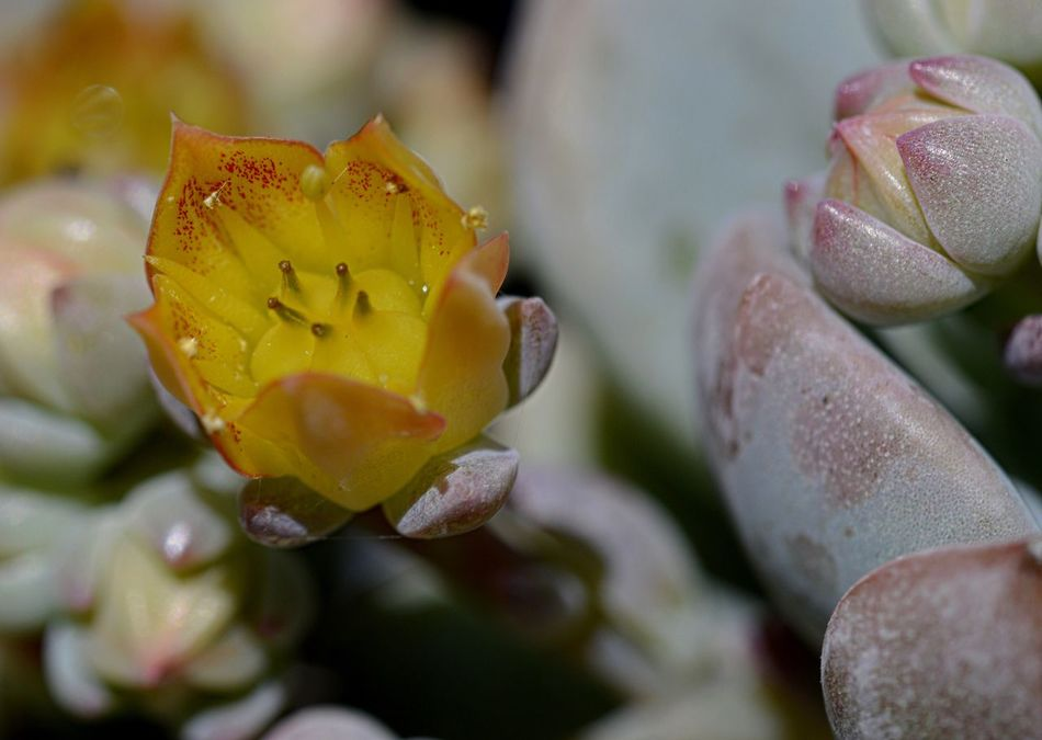 Flower Petal Nature Growth Beauty In Nature Flower Head Fragility Plant Freshness Close-up No People Rose - Flower Drop Yellow Blooming Outdoors Water Day Prickly Pear Cactus