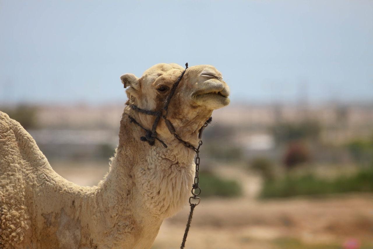 Beautiful stock photos of hump day, Animal Head, Animal Themes, Camel, Copy Space