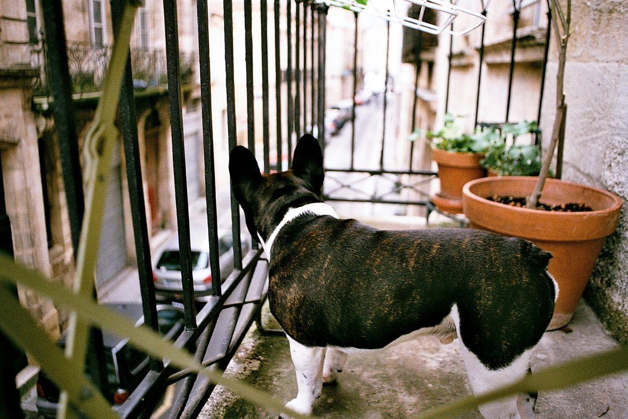 Beautiful stock photos of french bulldog, Animal Themes, Balcony, Canine, Carnivora