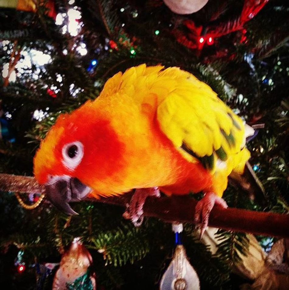 Sorry it's late, but Merry Christmas from Chickenbirdie! 🎄🐦 Chickenbirdie MerryChristmas Latechristmas Putabirdonit Portlandiaquotes Latedecember Latechristmaspost Happyholidays Happynewyear Throwback 2015isalmostover