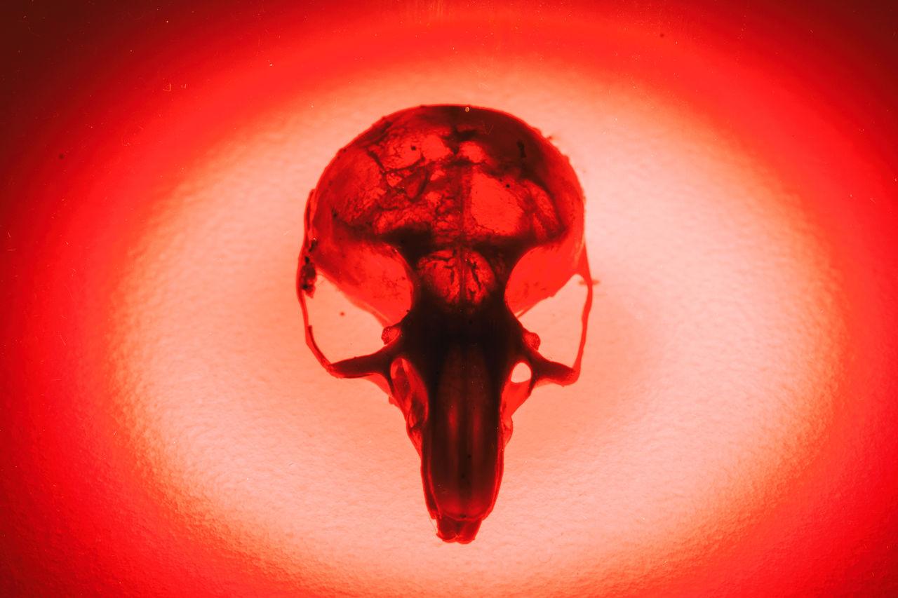 Hunter Mouse Skull Skeleton Cat Close-up Day Halloween Horror Illuminated Indoors  Mouse Skeleton No People Prey Red Skull Spooky Studio Shot