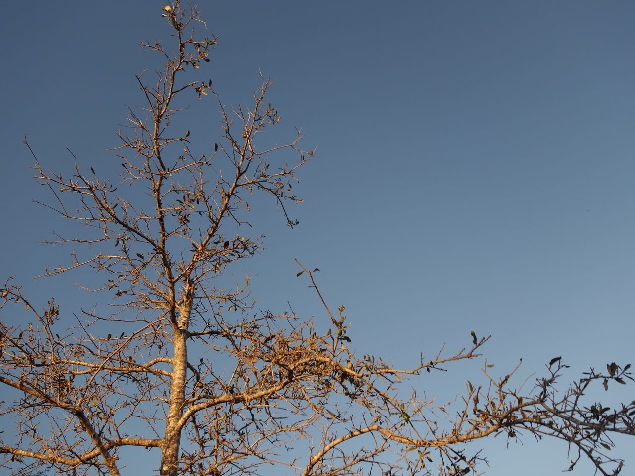 low angle view, branch, nature, tree, clear sky, beauty in nature, no people, day, outdoors, growth, blue, flower, bare tree, sky, freshness