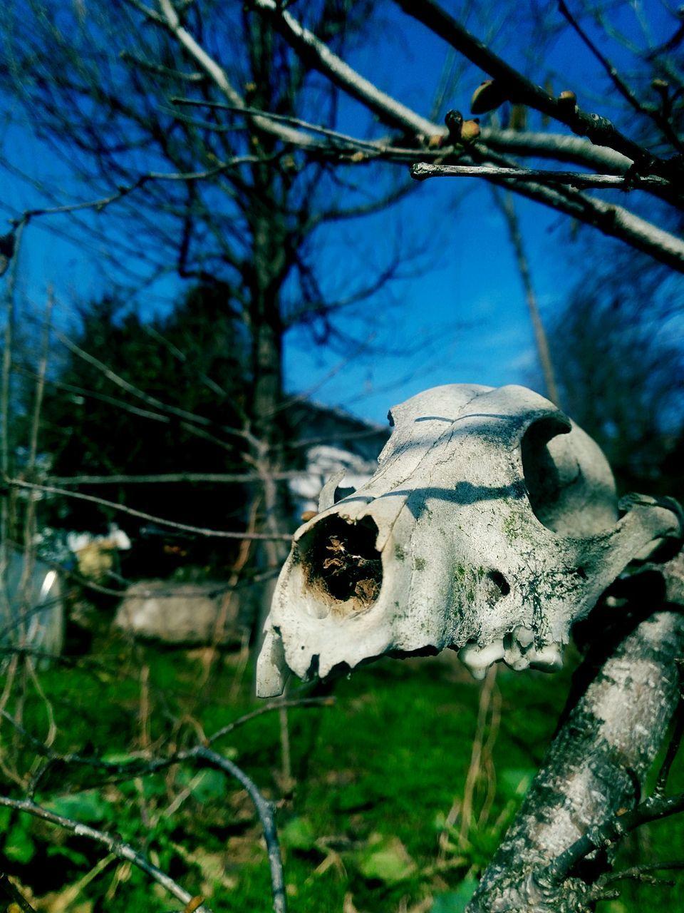 animal skull, animal bone, animal themes, bone, close-up, no people, one animal, day, focus on foreground, skeleton, outdoors, tree, nature