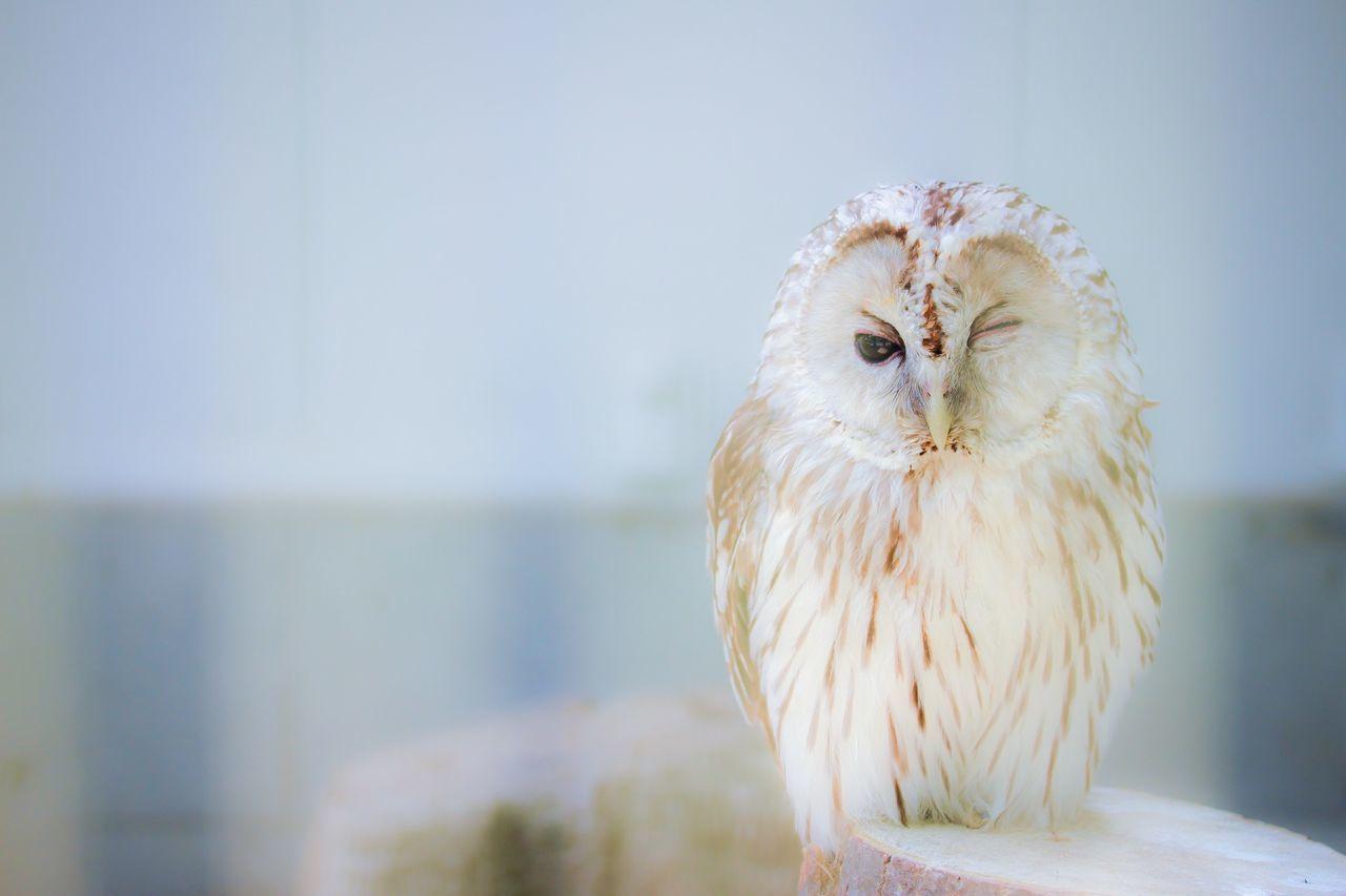 Beautiful stock photos of owl, Animal Themes, Animals In The Wild, Bird, Day