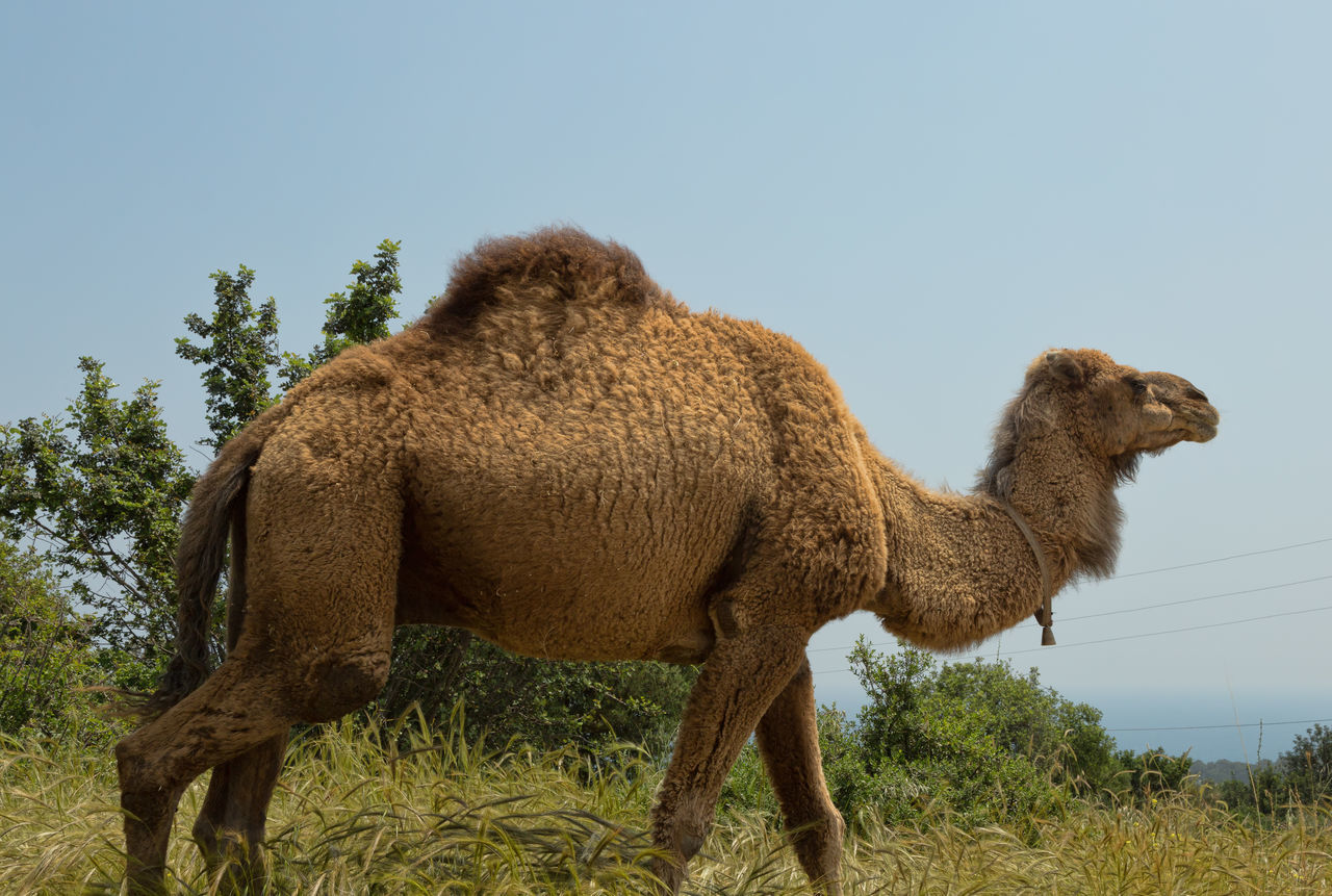 Camel Grazing Animal Themes Beauty In Nature Camel Camel Hair Camel Riding Clear Sky Desert Animal Domestic Animals Field Four Legged Friend Grass Livestock Long Neck  Mammal Nature One Animal One Hump Outdoors Standing Trees Turkey