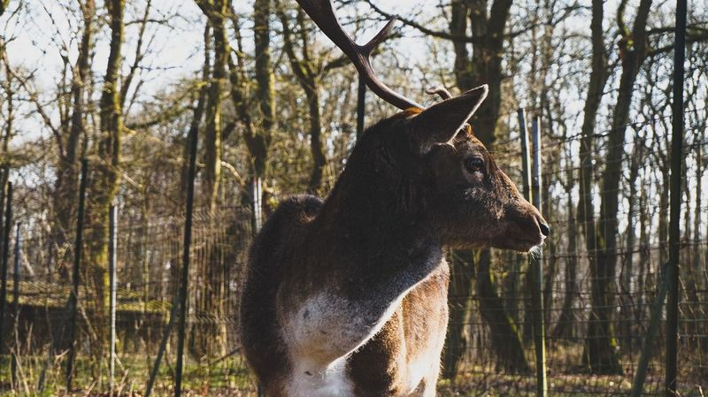 One Animal Animals In The Wild Animal Themes Forest Tree Nature Animal Wildlife Outdoors Mammal Day Sun Sunny Stag Daim Forest Photography Forestwalk Woods Lehavre Foretdemongeon Animal Sonyalpha SonyA5000 Sonyphotography Sonyimages Sony