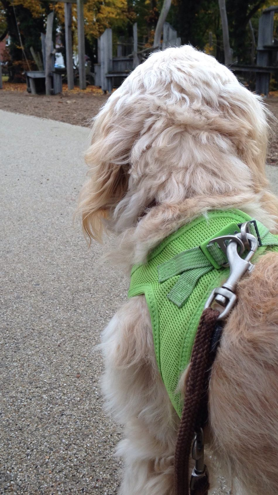 Cockerpoodle Domestic Animals cockerpoo Outdoors Poodle Day No People From Behind... walk Dog Leash One Animal