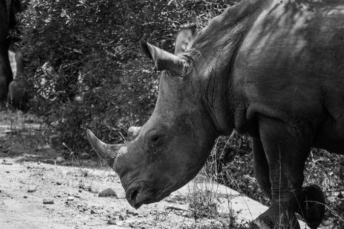 Animal Head  Animal Themes Animals In The Wild B&w One Animal Rino South Africa Wildlife