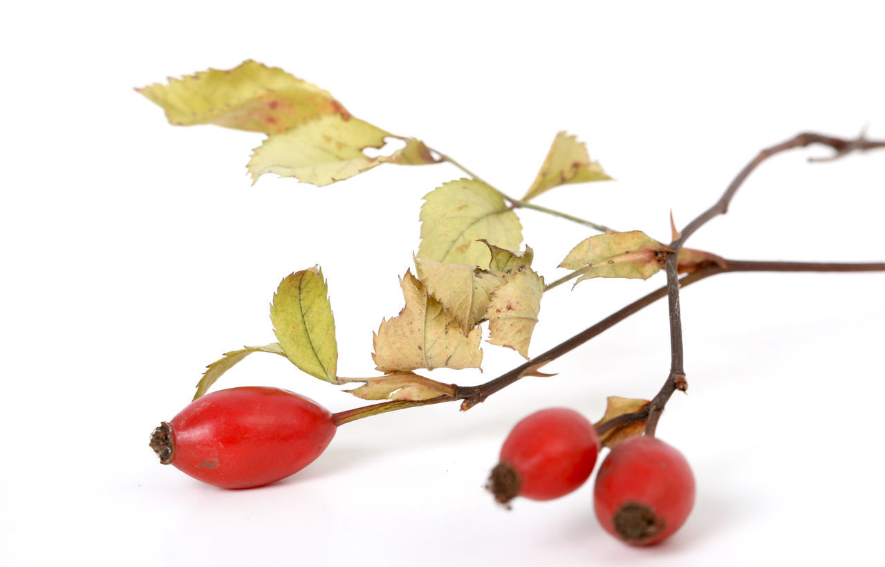 Berry Close-up Day Nature No People Red Berries Rose Hips Studio Shot White Background