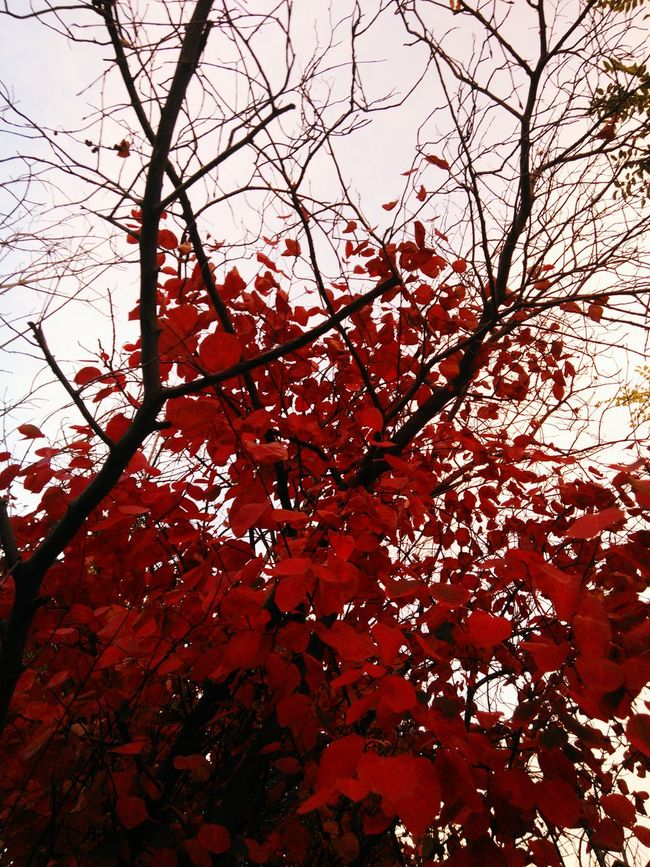Black and white and red all over Low Angle View Growth Beauty In Nature Branch Red No People Outdoors Freshness Day Close-up Sky Goth Nature Black Branches Red Leaves Autumn Trees Dark Photography Gothic Beauty  Red All Over Fall Beauty Blackandwhite Fall Colors Macabre Fine Art Photography Shapes And Lines