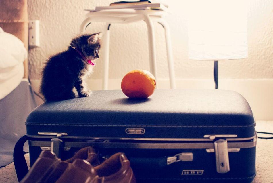 Molly Fitzgerald, 7 Weeks old. Kitten Love My Pets Color Portrait Orange Projectmollygrow