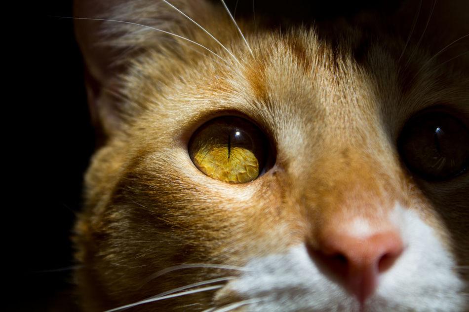 Golden Gaze Cat Orange Tabby Tabby Gold Eyes Eyes Hardlight
