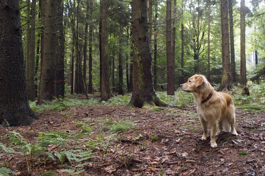 One Animal Dog Pets Tree WoodLand Forest Nature Animal Outdoors Landscape Tree Trunk Day Animal Themes Nature Olympus Goldenretriever Retriever Golden Retriever Pine Pine Tree Landschaft Nature Photography Beauty In Nature Wald Pflanzen
