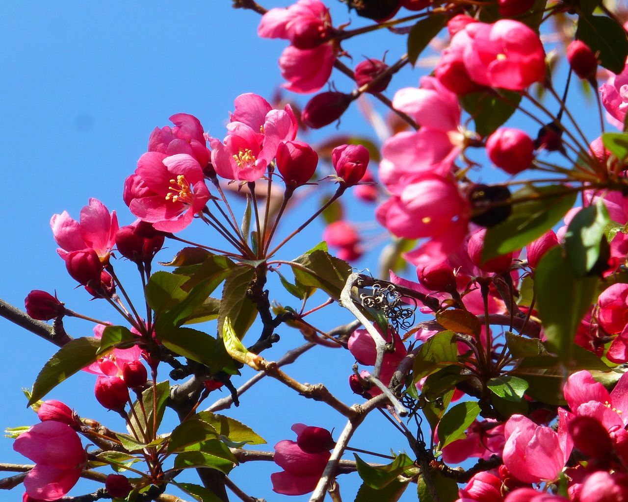 flower, growth, beauty in nature, nature, fragility, tree, pink color, petal, low angle view, freshness, no people, day, branch, outdoors, blooming, springtime, plant, close-up, flower head, bougainvillea, sky