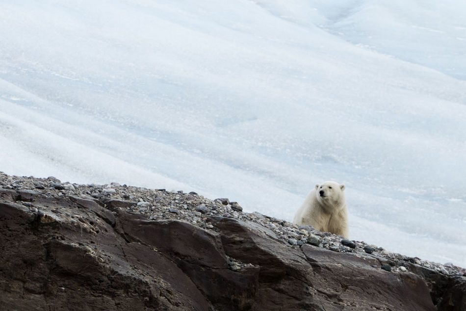Polar bear next to retreating high Arctic glacier Nordenskioldbreen, on Svalbard. Arctic SaveTheArctic Polar Bear Capture The Moment Wildlife Animals Climatechange EyeEm Nature Lover Nature Svalbard  Ice Age