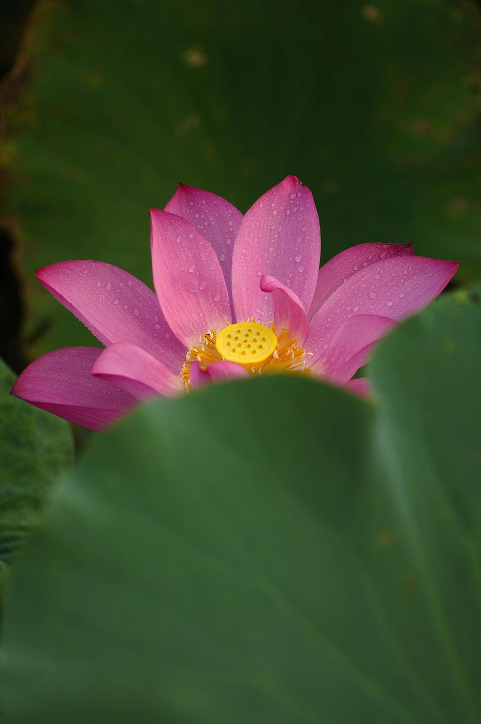 Beauty In Nature Blooming Close-up Day Drop Flower Flower Head Fragility Freshness Grow Growth Johnson Leaf Lotus Nature No People Outdoors Perfect Petal Pink Color Plant Up Water Wet
