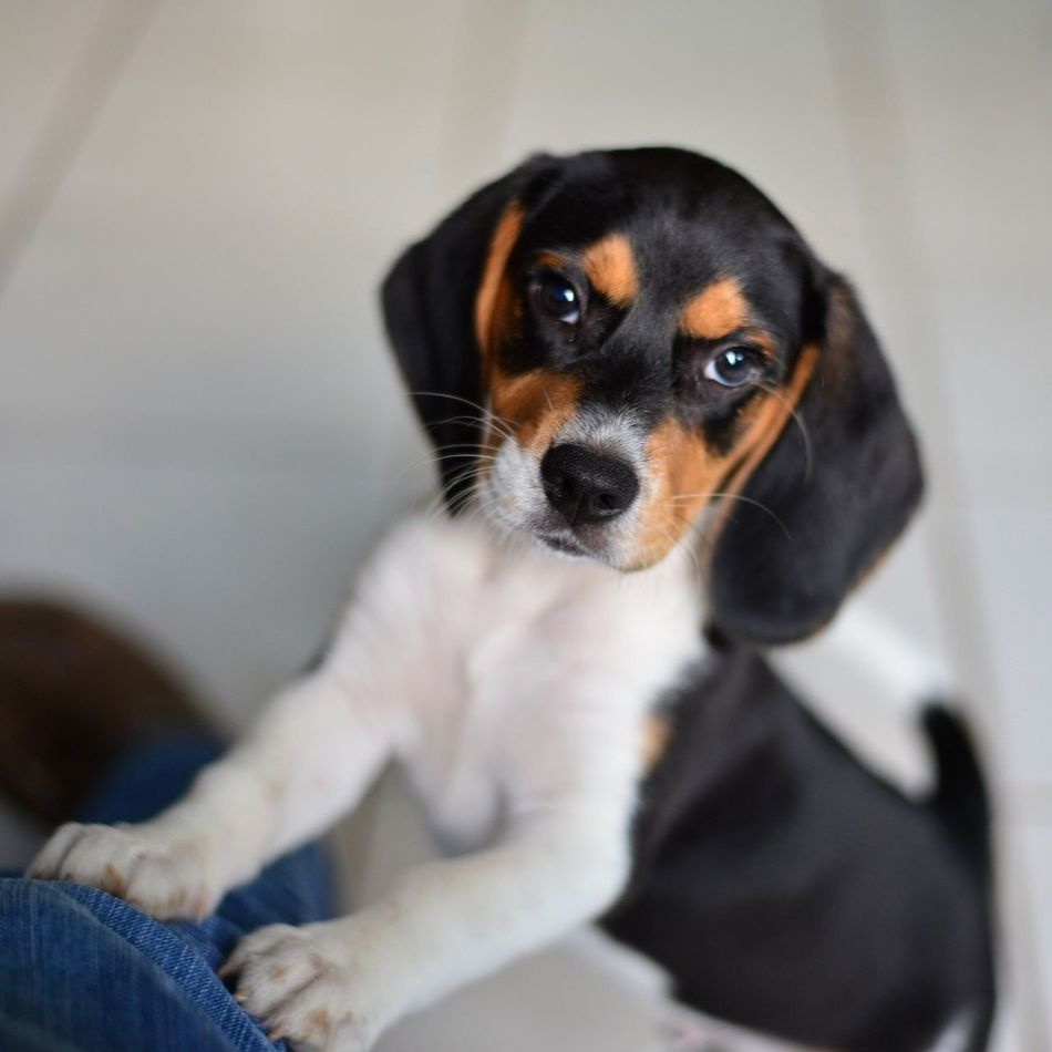 Beautiful stock photos of puppy, Animal Themes, Beagle, Bonding, Dog