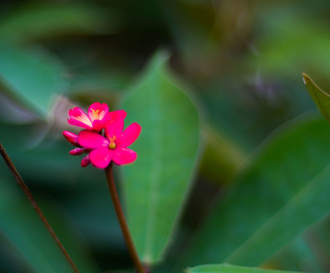 Beauty In Nature Blooming Blossom Botany Bud Close-up Day Flower Flower Head Focus On Foreground Fragility Freshness Green Color Growth Leaf Nature Nature's Diversities Petal Pink Color Plant Selective Focus Stamen Stem The Essence Of Summer The Great Outdoors - 2016 EyeEm Awards
