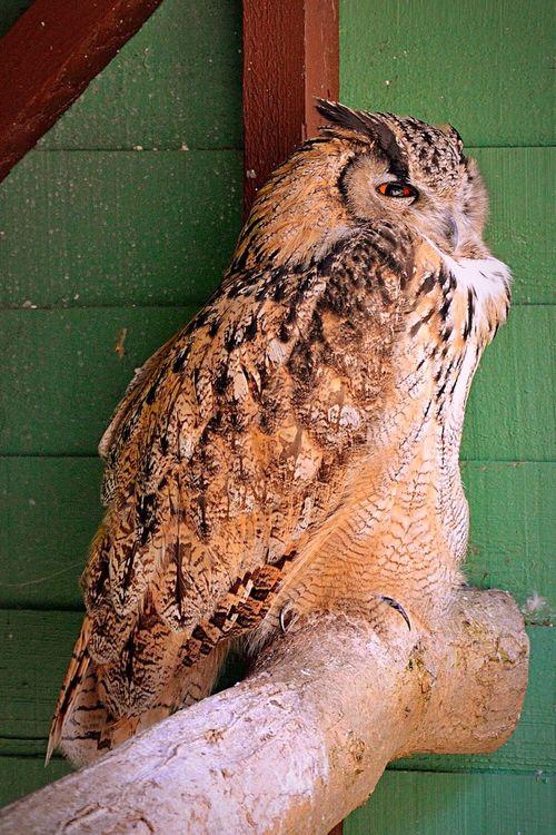 Owl & Monkey Haven Eagle Owl  Eurasian Eagle Owl  Owl Bird Bird Photography Animal Protection Animal Photography Animal Newport Isle Of Wight  Outdoors Haven