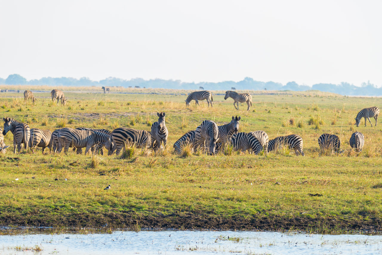 animals in the wild, animal themes, large group of animals, safari animals, mammal, nature, animal wildlife, day, outdoors, landscape, no people, grass, field, zebra, elephant, clear sky, sky
