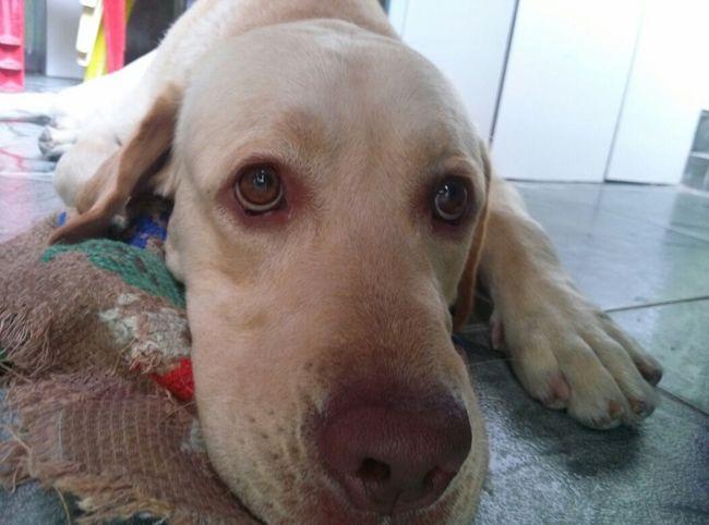 Dog A Dogs Life Labrador