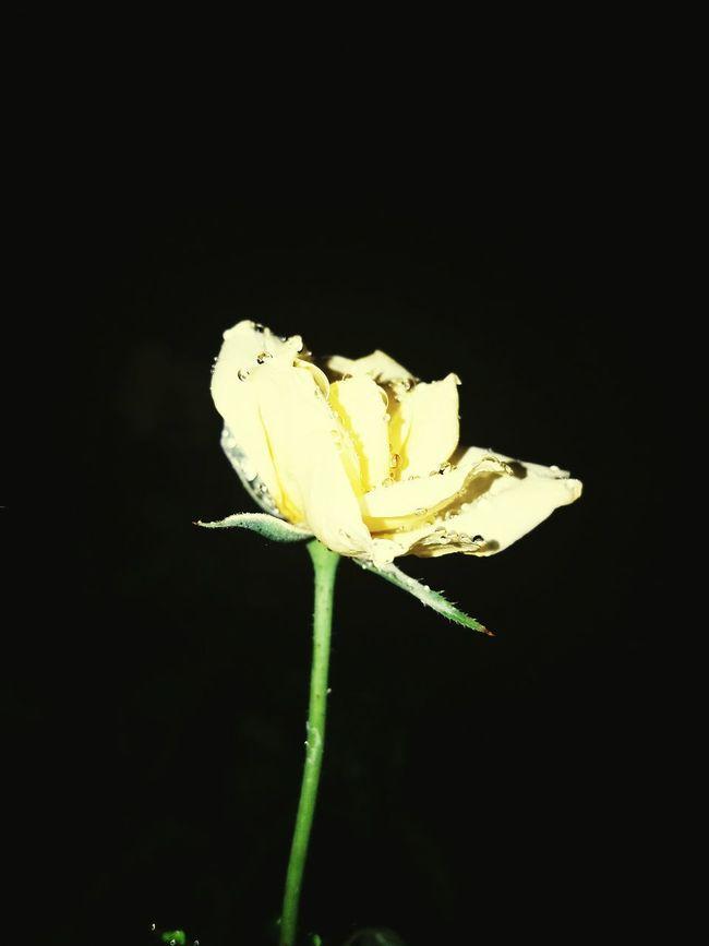 Flower Freshness Petal Fragility Flower Head Single Flower Close-up Stem Beauty In Nature Yellow Rose Rosé