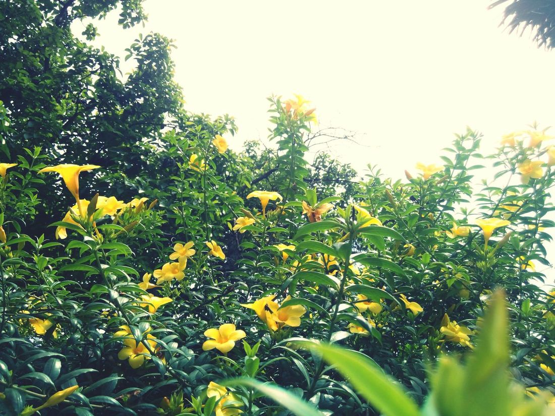 Yellow bell 😍 Relaxing Taking Photos Check This Out Enjoying Life Yellowbells Yellow Flowers