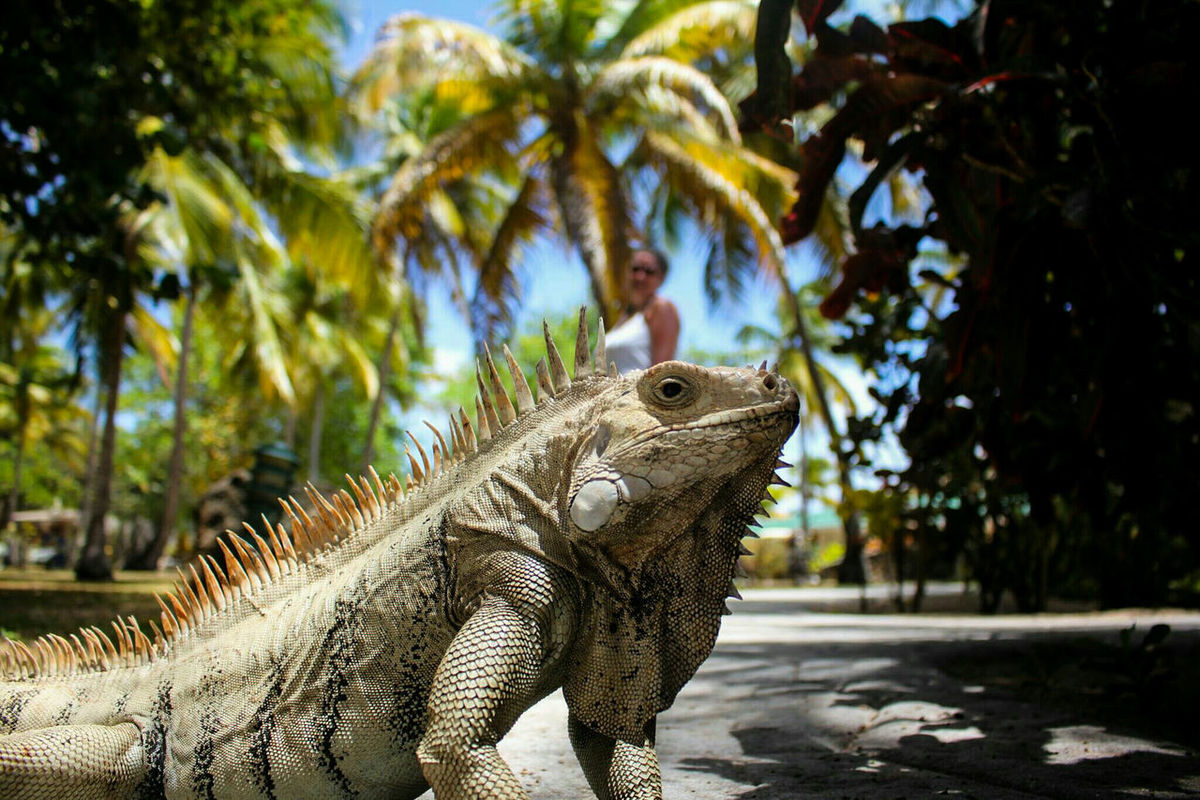 George II at Palm Island, Grenadines. Iguana Iguanas Reptiles Lizard Lizard Watching Wildlife Island Life Palm Island Grenadines Looking At Camera Animal Close Up Nature Colour Of Life