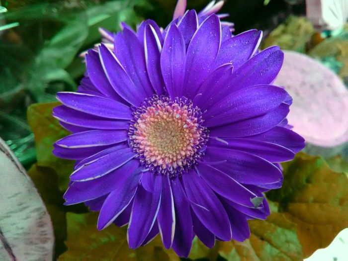 ASTERACEAE (COMPOSITAE) African Daisy Barberton Daisy Barbertonse Madeliefie Beauty In Nature Blooming Capitulum Close-up Clump-forming Day Flower Flower Head Fragility Freshness Gerber Daisy Gerbera Growth Hilton Daisy Nature No People Outdoors Petal Plant Purple Transvaal Daisy