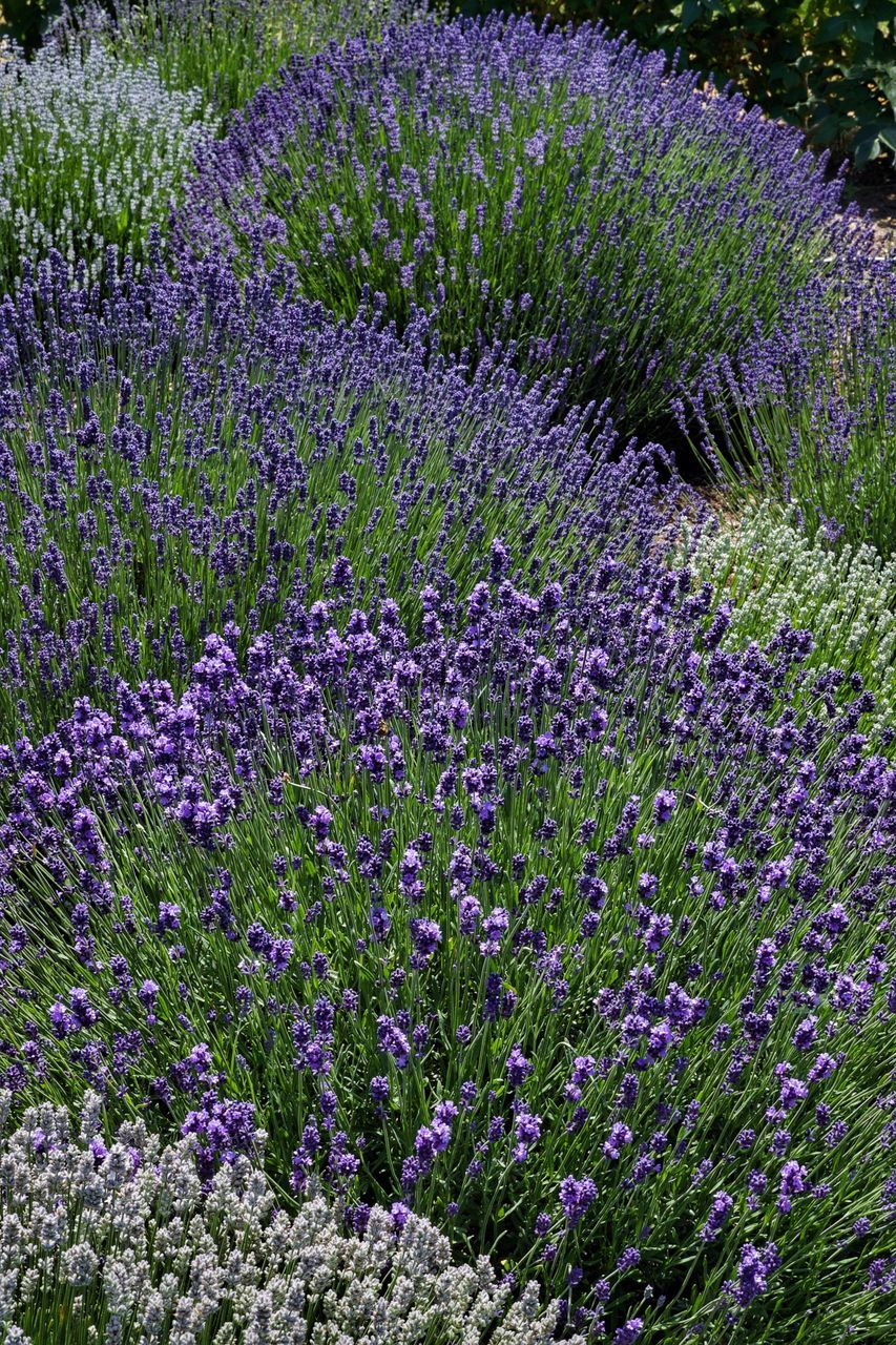 purple, flower, lavender, lavender colored, beauty in nature, nature, growth, field, no people, plant, scented, herb, tranquil scene, agriculture, scenics, perfume, outdoors, fragility, day, freshness, flowerbed, flower head, beauty, herbal medicine, crocus