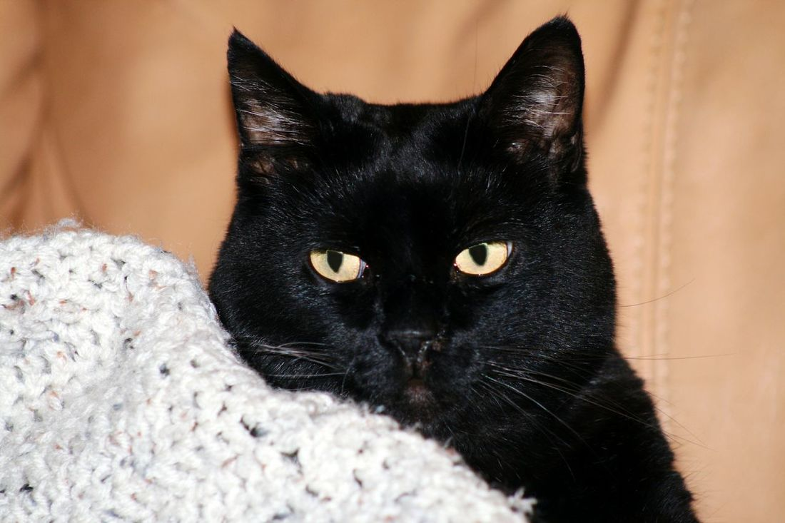 Ichi. Domestic Cat Pets One Animal Domestic Animals Animal Themes Feline Black Color Mammal Looking At Camera Best Cat Ever Portrait Yellow Eyes Indoors  No People Close-up
