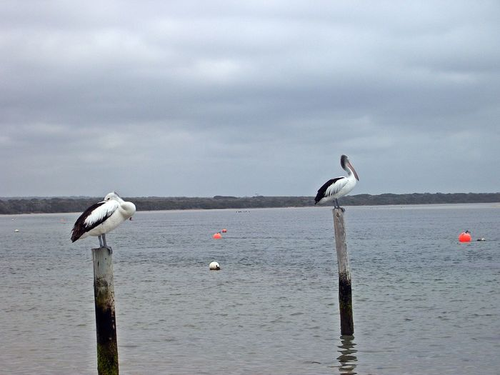 Musselroe Bay Animal Themes Animal Wildlife Animals In The Wild Beauty In Nature Bird Cloud - Sky Day Lake Nature No People Outdoors Perching Sky Spread Wings Water Wooden Post Perspectives On Nature Be. Ready.