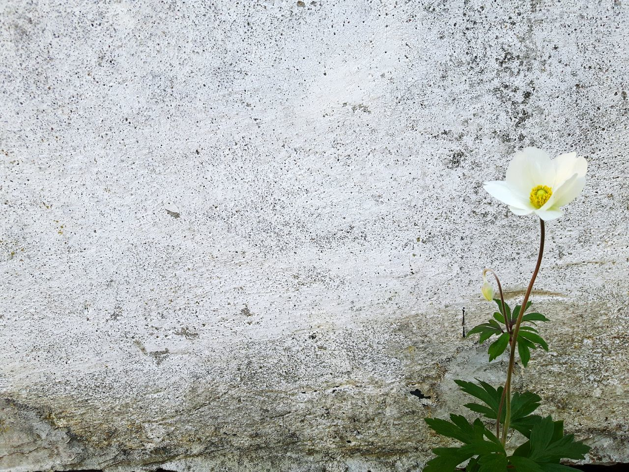Single flower on a wall Flower Nature Plant Fragility Growth Day No People Outdoors Petal Close-up Beauty In Nature Leaf Backgrounds Flower Head Freshness Gardening Garden Beauty In Nature Ogrod Growth Garden Flowers Kwiaty Beauty Springtime Plant