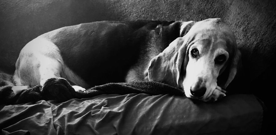 Cooper resting for the moment Dog Mammal Domestic Animals One Animal Relaxation Portrait Bassethoundadventures Looking At Camera Ilovemybassethounds Bassethoundsare Best Bassetmoments Iphonephotography Pampered Pooch Seniorhoundsrock Snout Caught In The Moment