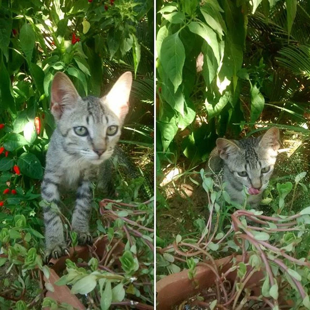 Oi, eu sou o gatão. O rei do jardim. Cat Gatto Gato Gatao Animal Animale Kingofthegarden Buzios Buziosrj Errejota  Riodejaneiro Rio40graus Semfiltro Brazil Brasil
