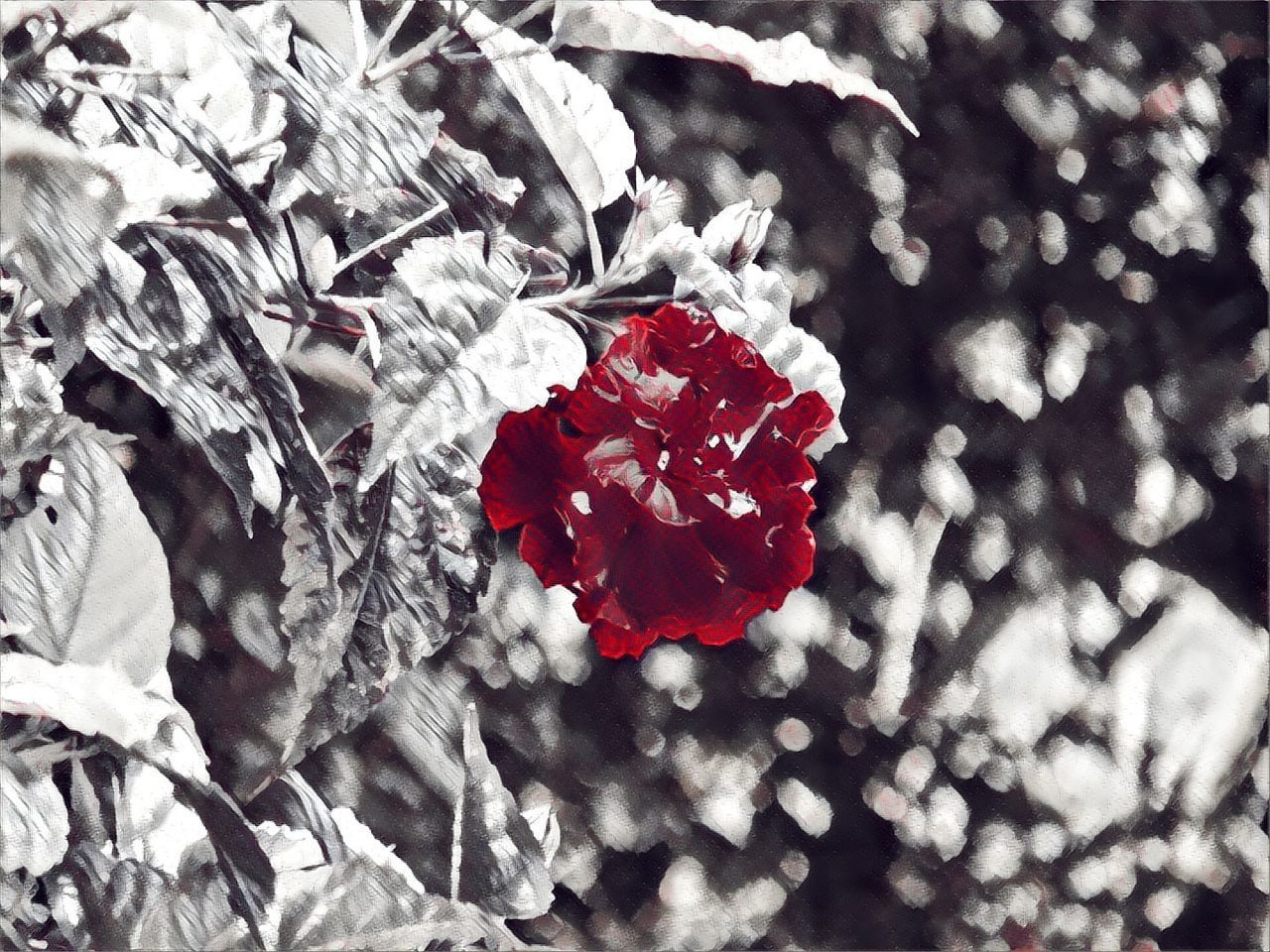 red, no people, petal, flower, nature, close-up, fragility, outdoors, beauty in nature, day, leaf, freshness