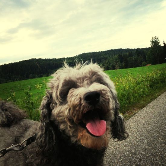 My hairy brother. :) Go For A Walk With The Dog Poodle Life Is Good Nedansjö