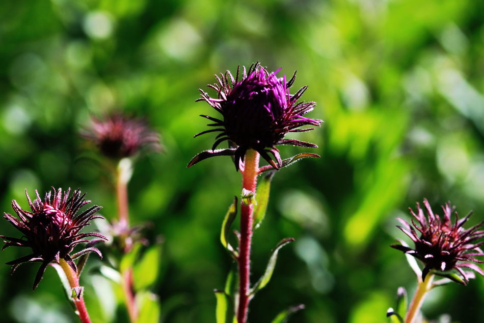 Blooming Close-up Day Deep Purple Fiè Allo Sciliar Flower Head Flowers Green Background Italy Nature No People Outdoors Plant Südtirol