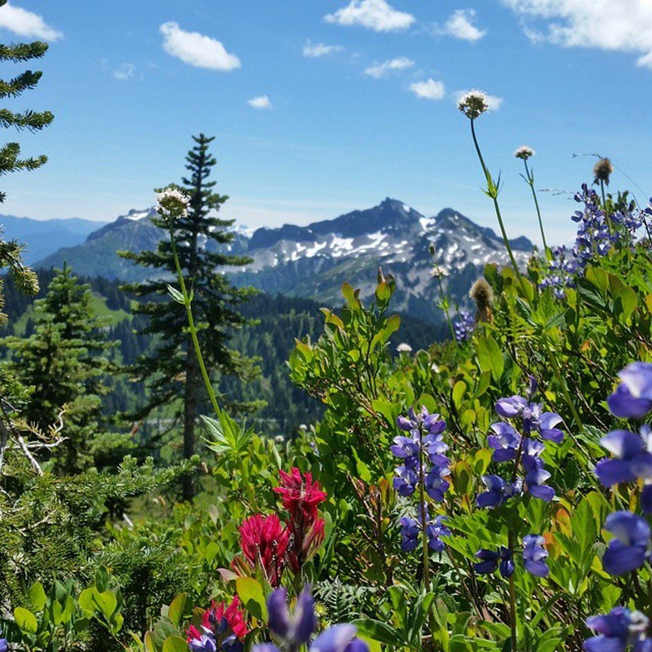 Wildflower heaven || Nature Wastate Hiking PNW pnwisbest northwestisbest adventureisoutthere flowers summer mountains nofilterneeded livewashington