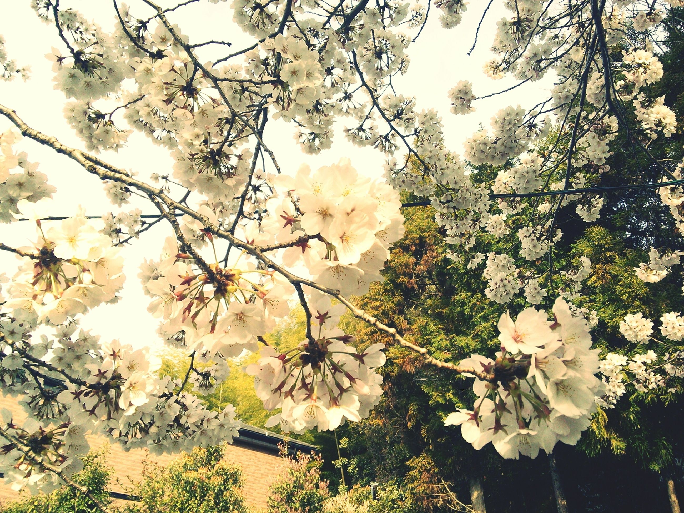 flower, tree, branch, growth, fragility, freshness, nature, beauty in nature, petal, low angle view, blossom, leaf, blooming, sunlight, white color, in bloom, plant, day, outdoors, flower head