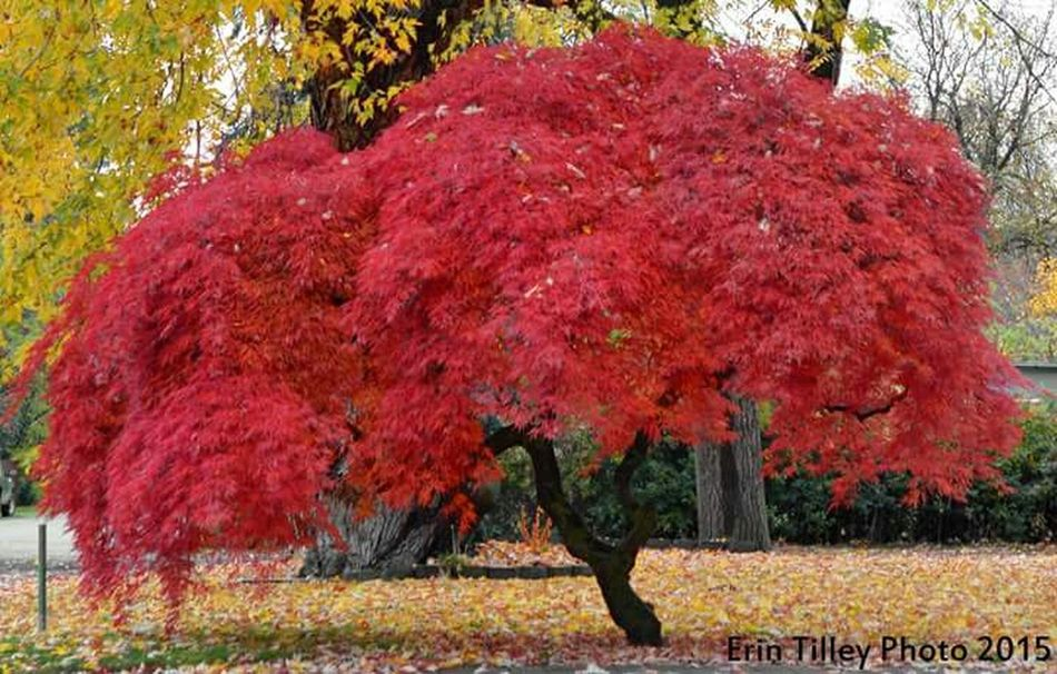 Fall Colors Naramata End Of Season  Canada