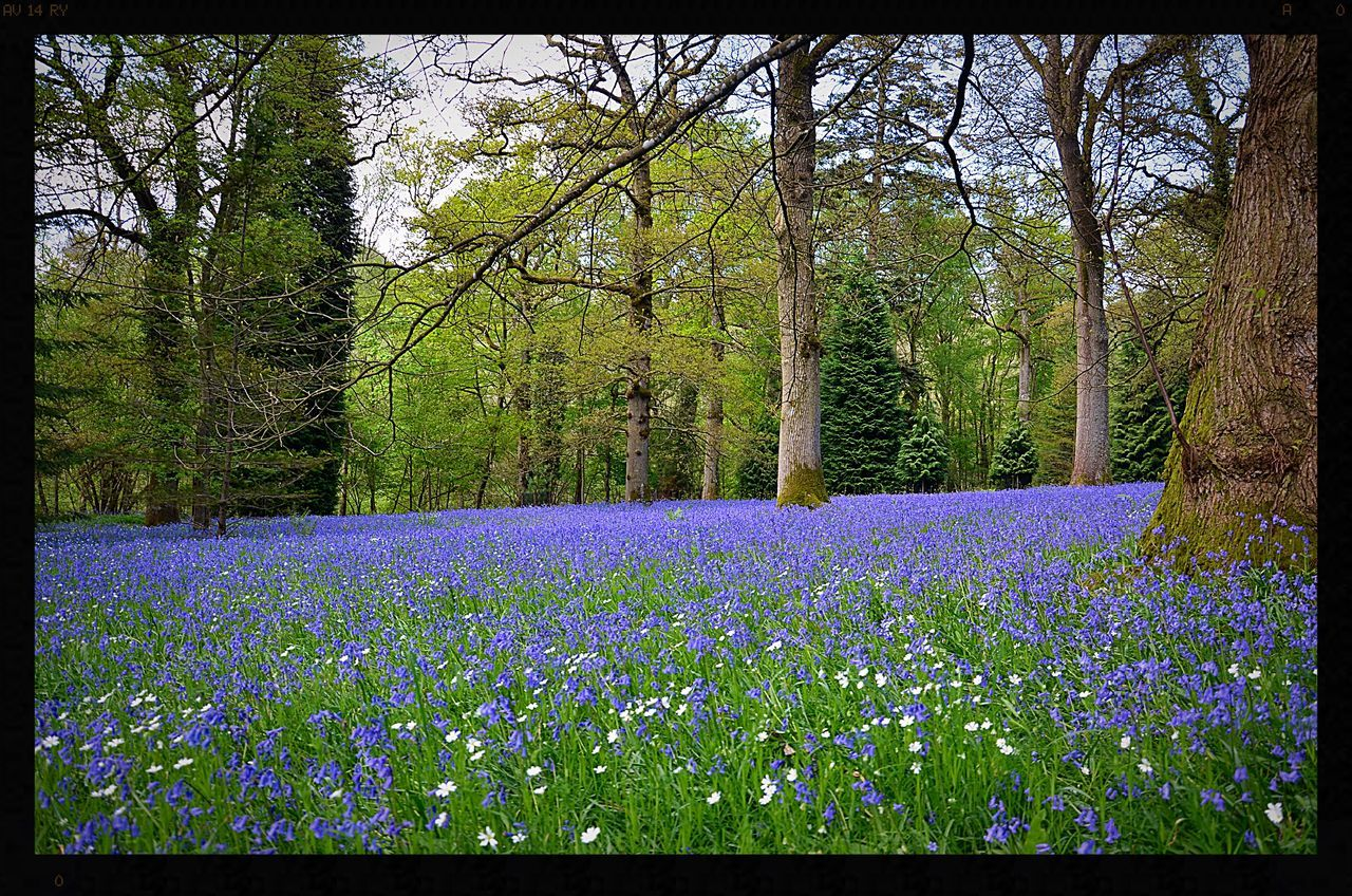 Beauty In Nature Blue Bluebell Bluebell Wood Flower Flowers Flowers, Nature And Beauty Flowers,Plants & Garden Fragility Freshness Nature No People Purple Purple Flower Purple Flowers Tree