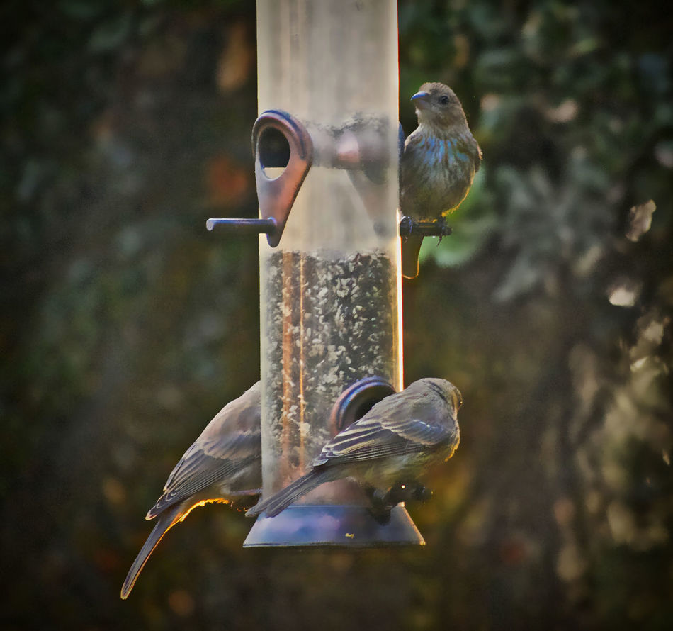 Backyard Photography Beautiful Light Bird Bird Feeder Finches On A Feeder Gifts My Finches! Outdoors Perching Safety